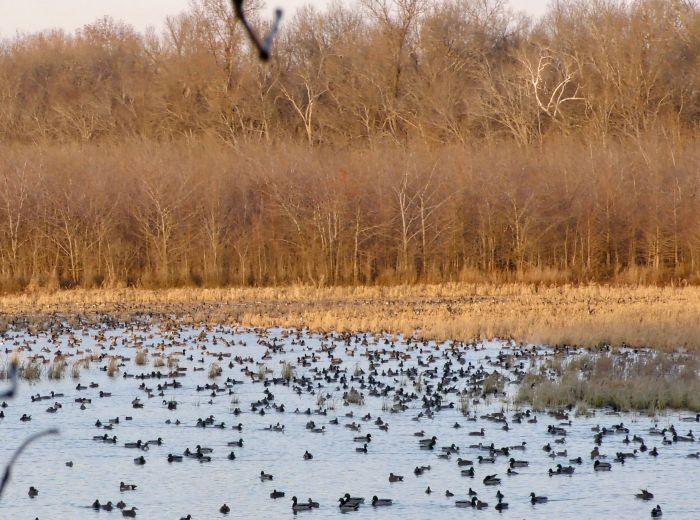 flying ducks