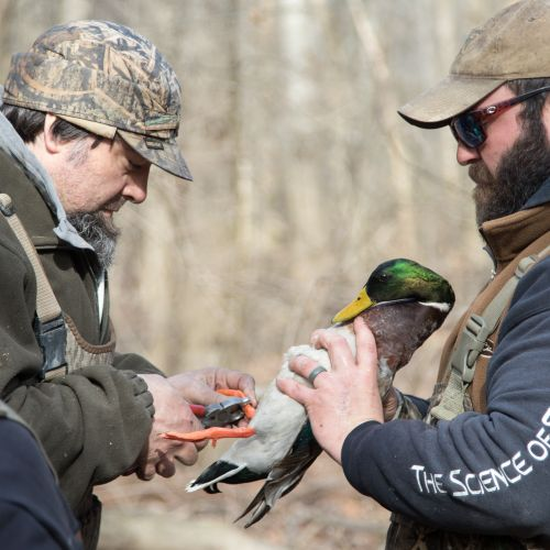 Mossy Oak Duck Banding At Whiteoaks 2